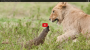 Lion Vs Mongoose: Mongoose Fends Off Four Lions