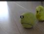Budgie Balancing Trick