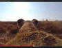 Lioness Wearing GoPro Hunts Down A Buck