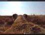 Lioness Wearing GoPro Hunts Down ABuck