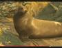 Angry sea lion