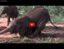 African Animals Getting Drunk From Ripe MarulaFruit