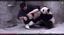 Clingy pandas don't want to take theirmedicine