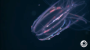 The Comb Jelly LaserShow