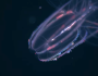 The Comb Jelly Laser Show