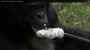 Bonobo builds a fire and toasts marshmallows