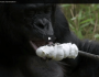 Bonobo builds a fire and toastsmarshmallows