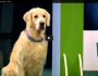 Hilarious Golden Retriever Really Wants To Race But, First Things First
