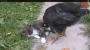 Cat and Chicken
