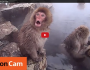 Snow Monkey in Hot Spa