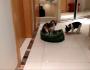 French Bulldog Puppy Gets His BedBack