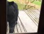 Cat Scares Off Bear Peaking Through GlassDoor